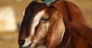পাকিস্তানে ছাগল ধর্ষণের অভিযোগে পাঁচজনকে খুঁজছে পুলিশ